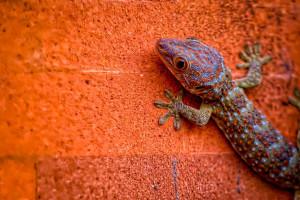 Der Gecko - ein Beispiel für das Vorkommen der Nanotechnologie in der Natur
